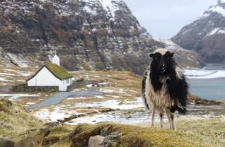 Ett av de ca 80 000 får som finns på öarna. BIld av Rav_ från Pixabay