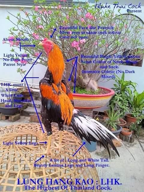 Spesis ayam ratu di Thailand  seniwarisanayambaikmalaysia