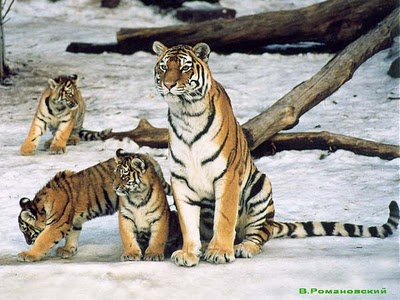 Siberian Amur Tigers in snow