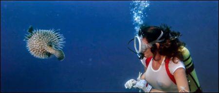 Kugelfisch und Taucherin unter Wasser