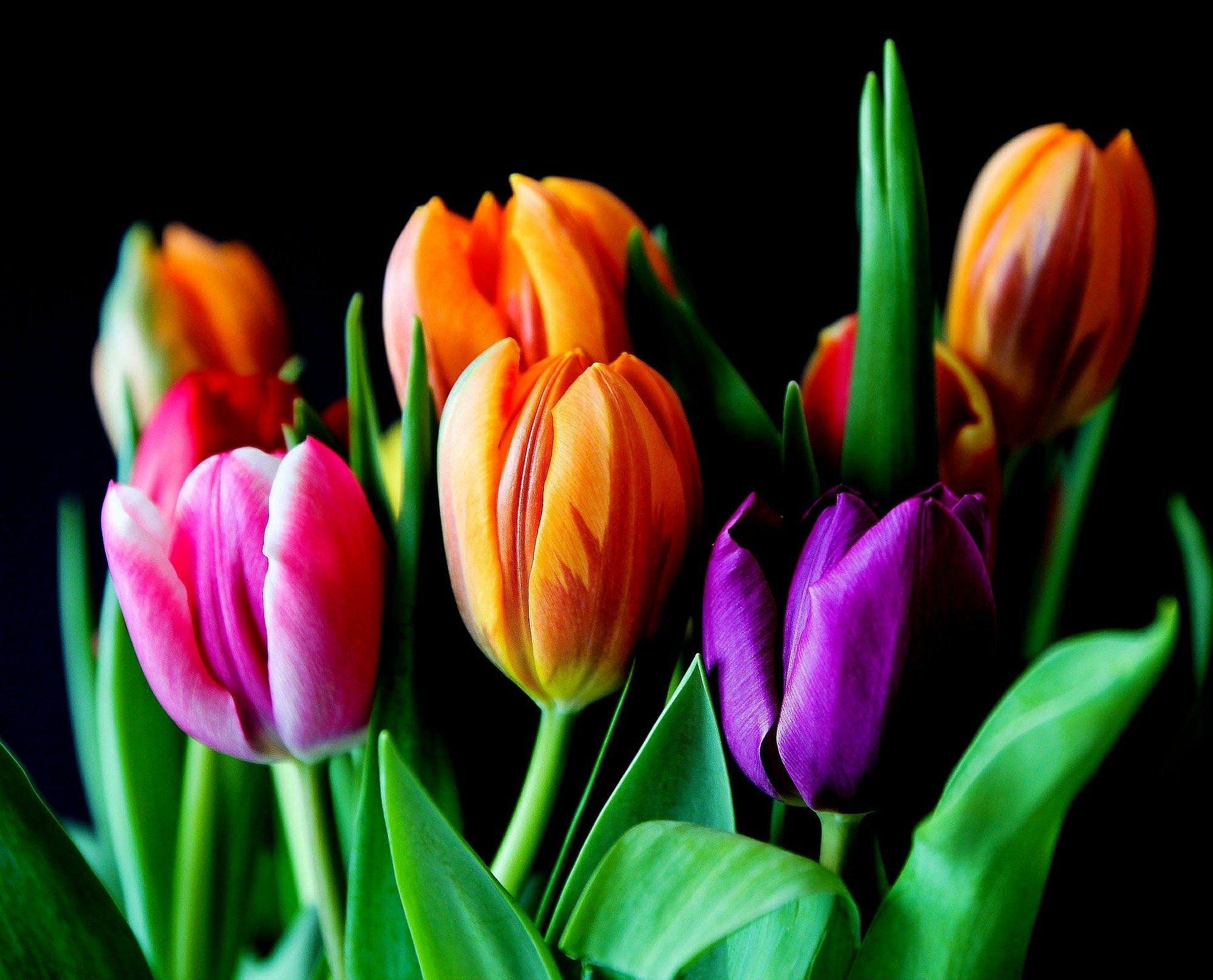 В устланной снегом Карелии расцвели тюльпаны