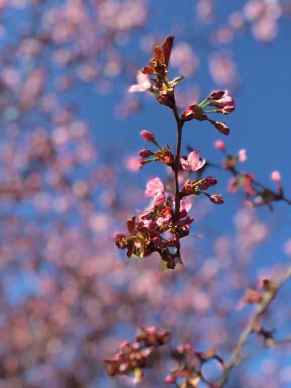 В Санкт-Петербурге зацвели деревья сакуры