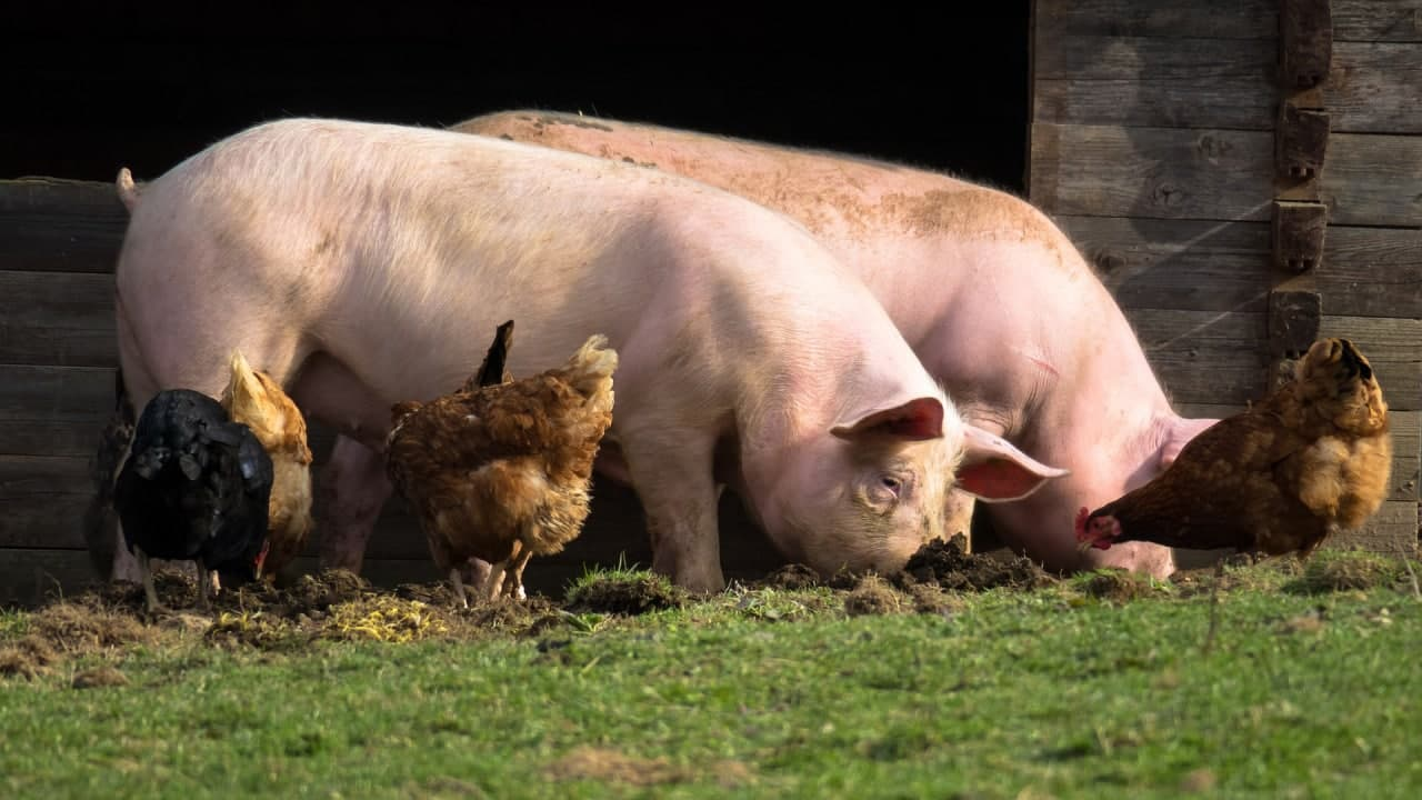 Великолукское «свинство» может стать угрозой Балтийской экологии