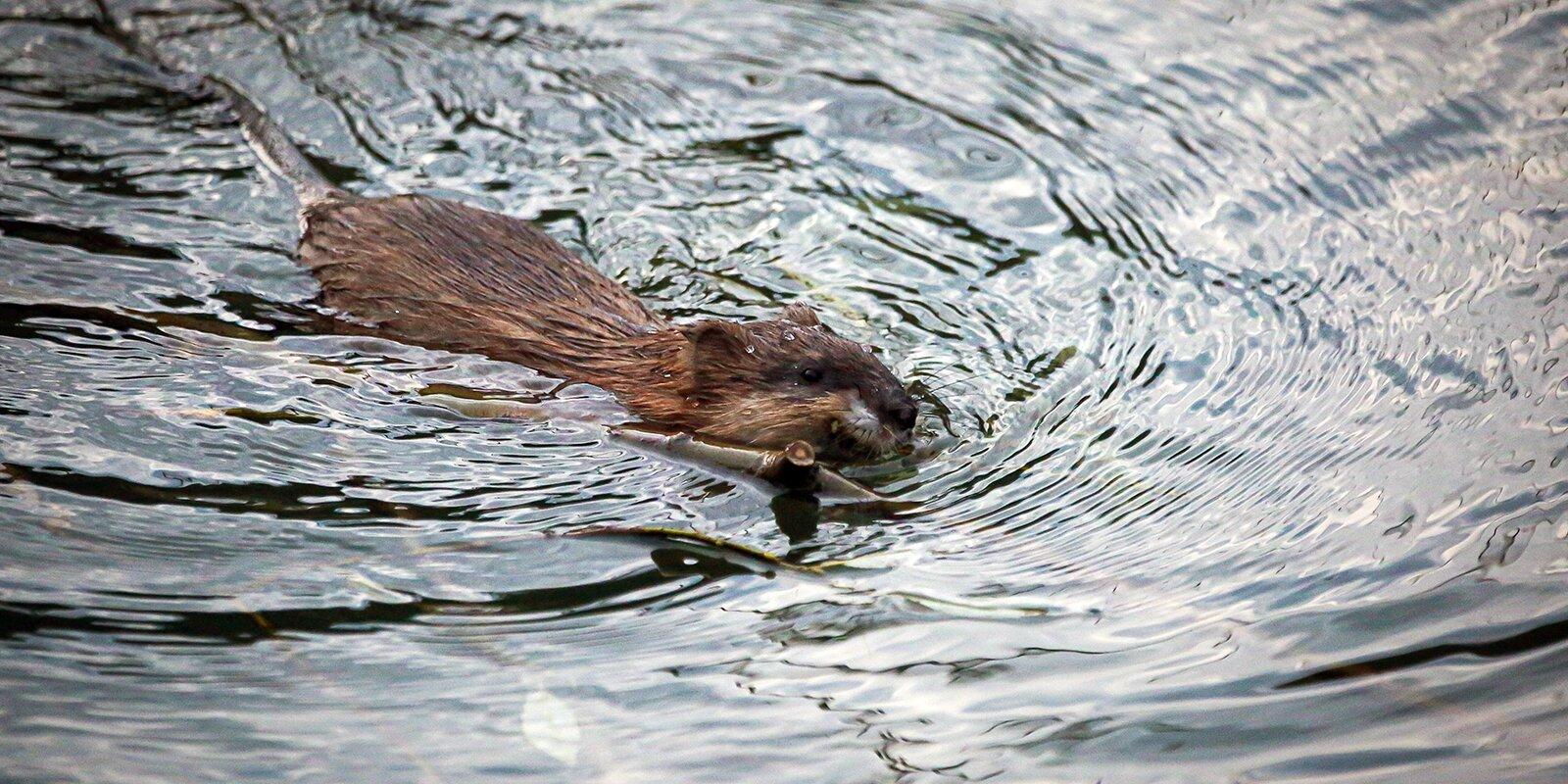 На берегах рек Сетуни и Яузы заметили ондатр