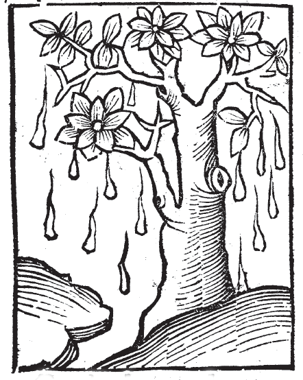 Mana from the Hortus Sanitatis. Yet another weeping tree.