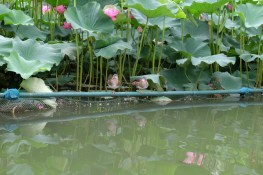 Birds in the lilies at Beihai Park