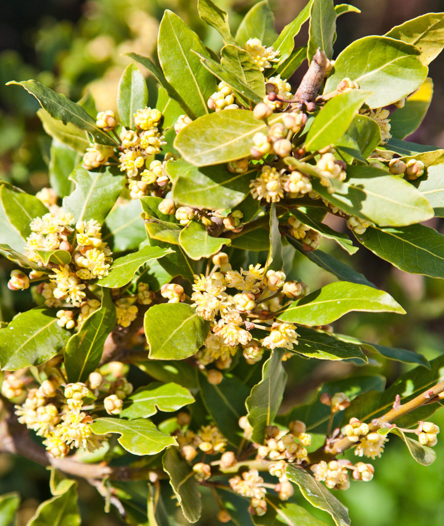 Bay laurel and many related herbs contain linalool, which is a known sedative, muscle relaxant and anxiolytic