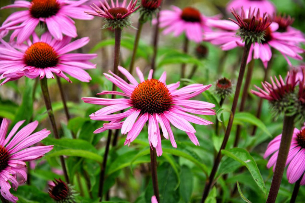 Echinacea has been found to contain cannabimimetic N-alkyamides