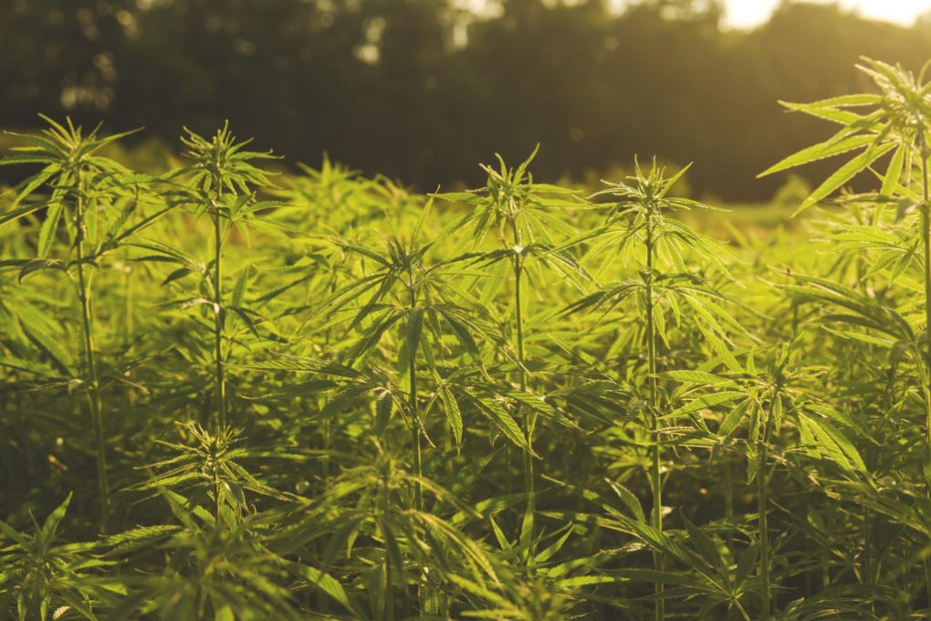 A photograph of a hemp field in the sunshine. The plants are thin, bright green, and tall.