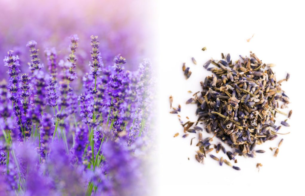 A close up photograph of a field of lavender. We see a bush shrub with tiny tubular purple blossoms growing in whorls of half a dozen flowers, with angular stems forming a spike. To the right of the fresh plant is a herb mixture of dried lavender of brown and purple on a white surface.