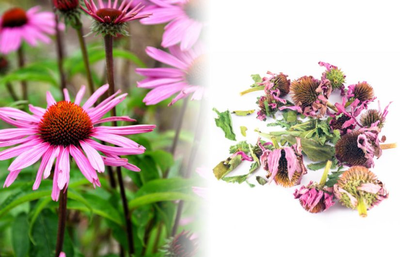 A close up photograph of the echinacea flower. It features a sunflower like cone of red and orange. It has long thin purple petals around the cone. Beside the fresh plant is a photograph of dried echinacea flowers on a white surface.