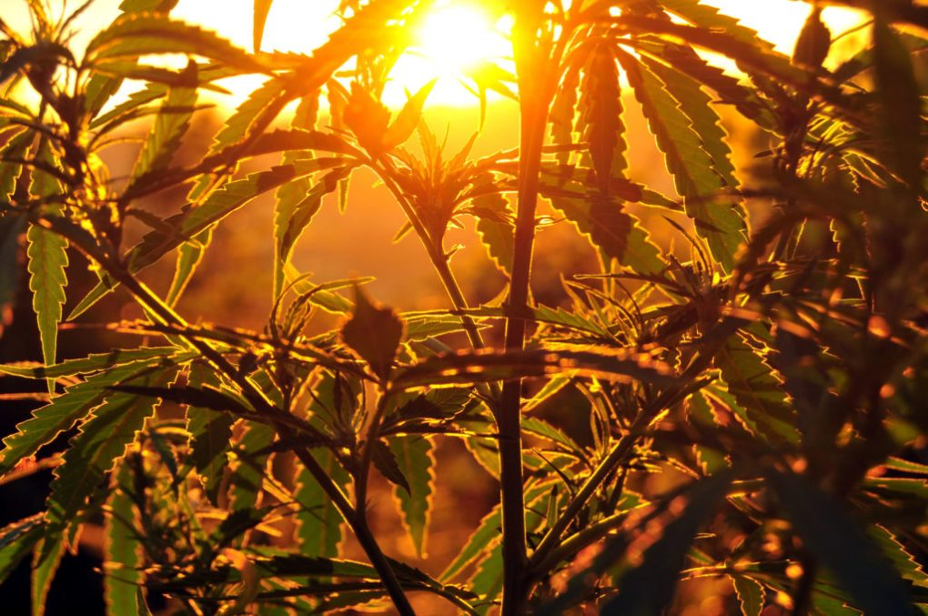 A closeup photograph of a silhouetted cannabis plant growing outdoors. The sun is nearly hidden in the horizon providing a golden hue to the image.