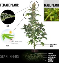 an elaborate infographic showing a photograph of a fully grown female cannabis plant highlighted are [ 2600 x 2661 Pixel ]