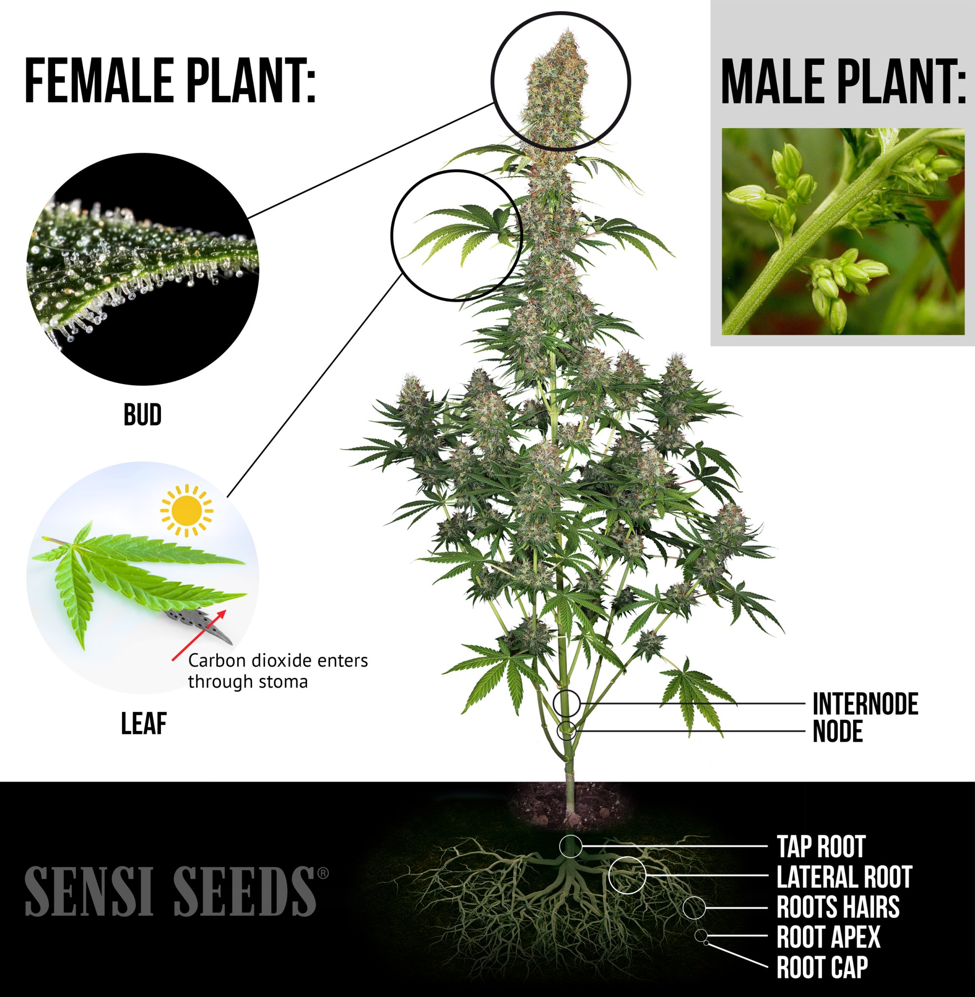 hight resolution of an elaborate infographic showing a photograph of a fully grown female cannabis plant highlighted are