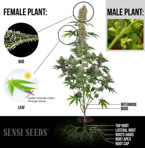 small resolution of an elaborate infographic showing a photograph of a fully grown female cannabis plant highlighted are