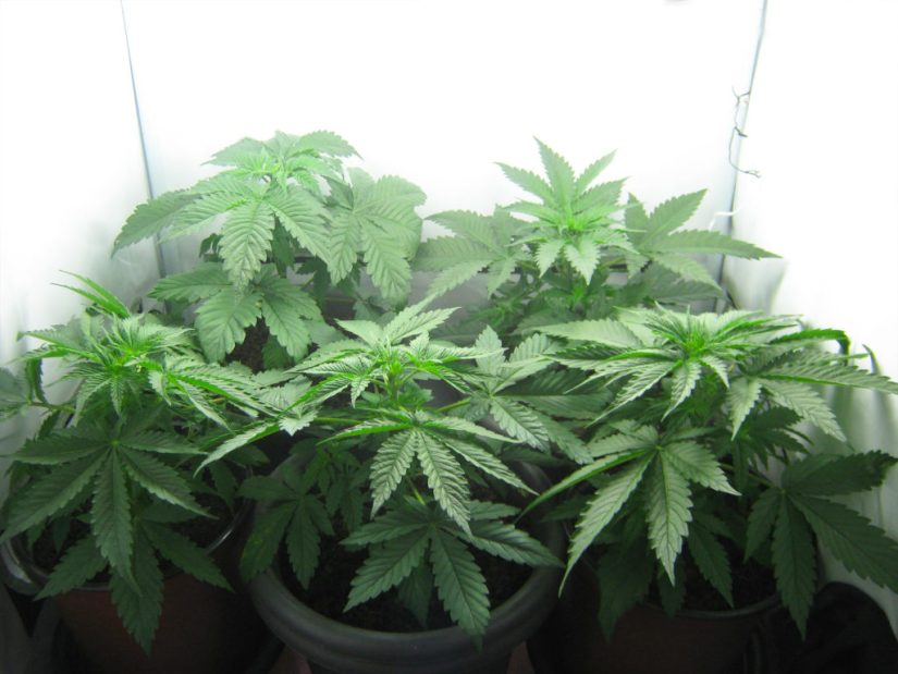 A photograph showing the growth stage or vegetation stage of cannabis plants. The five plants are potted and grown indoors in a white room with ample light. They have not flowered yet but instead show their plentiful and distinctive leaves.