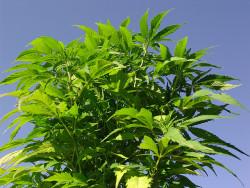 CBD ist eine kostengünstige, reichlich vorhandene und erneuerbare natürliche Ressource, die auch auf kargen Böden wächst, ohne dass dabei viele Chemikalien zum Einsatz gelangen müssen (© twicepix)