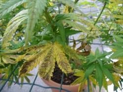 Grave carence en manganèse, caractérisée par des feuilles jaunes et des taches nécrotiques