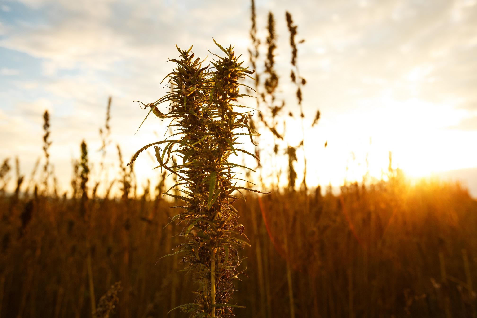 Hemp plant in one of Romanian fields