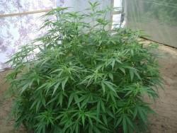 Foco en la Variedad de Cannabis: Mexican Sativa de Sensi Seeds - Foco en la Variedad de Cannabis: Mexican Sativa de Sensi Seeds