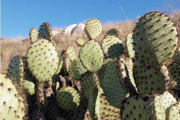 Santee cacti