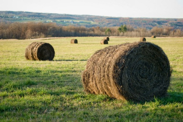Hay, photograph by Peter Roome