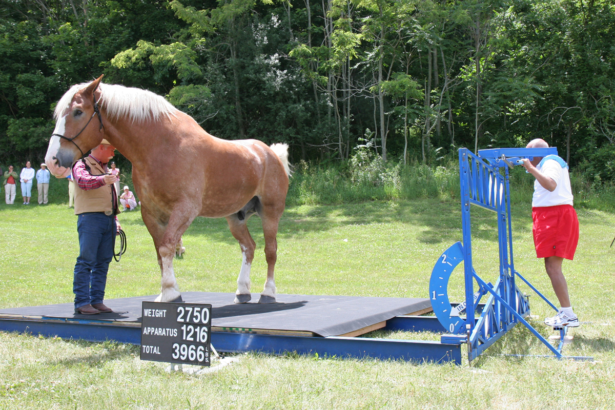 World S Tallest Smallest Horses Lifted Literally