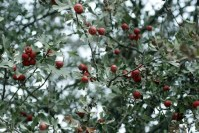 hawthorn tree meaning