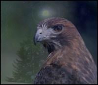 Hawk Animal-Spirit