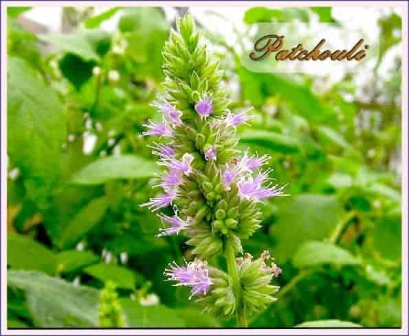 patchouli spiritual meaning