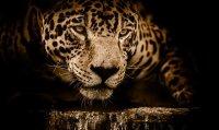 Jaguar spiritual meaning