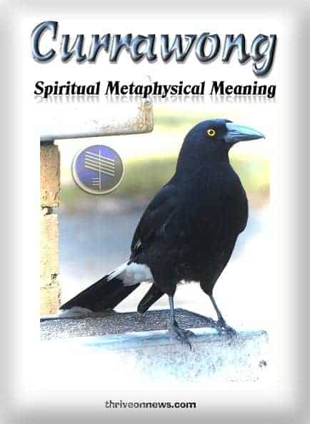 currawong spiritual meaning