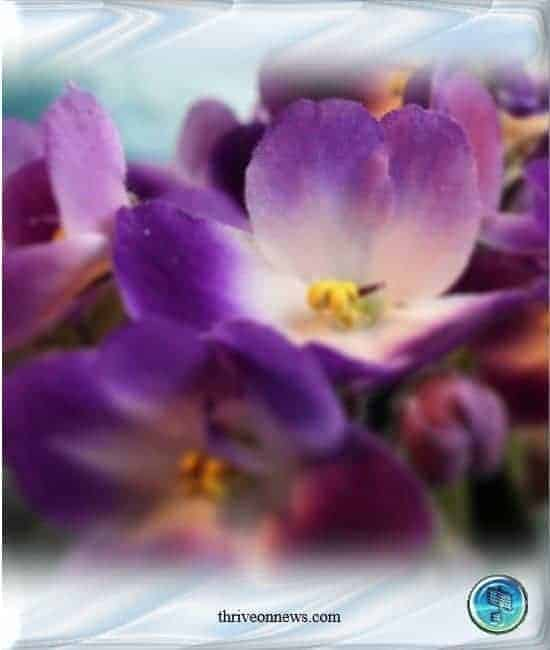 African Violet Meaning