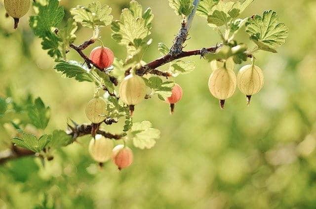 Gooseberry spiritual meaning