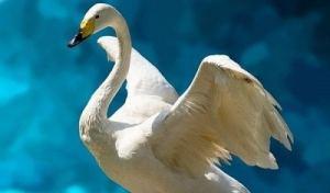 swan celtic zodiac
