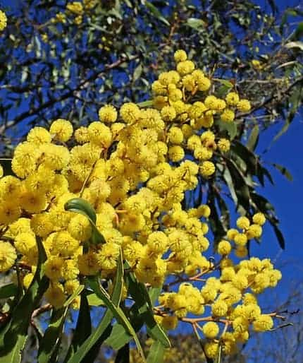 Wattle Tree Meaning