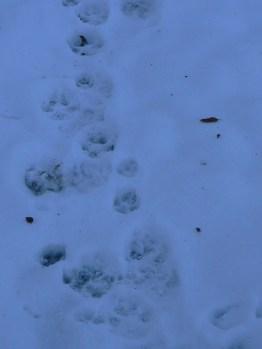 Impronte di lupo (con cucciolo): dritte, regolari, ricalpestate sempre sulla stessa impronta