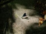 la libellula, una presenza fissa d'estate