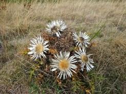 il cardo, fiore delle praterie in quota