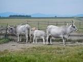 Mucche di razza maremmana