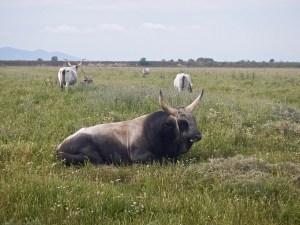 Toro di razza maremmana
