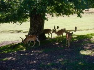 Daini e caprioli nel parco di Ranco Spinoso