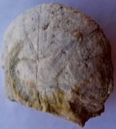 Un bel fossile di echinide (riccio di mare)