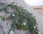 Pianta di capperi abbarbicata sulle argille