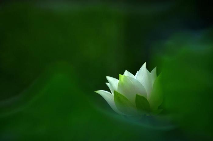 white-lotus-hoi-ngan-chan
