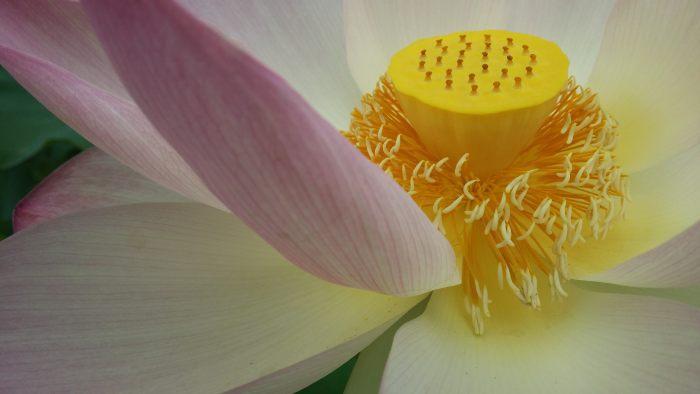 lotus-buddhism-flower-symbol-wallpaper.jpg
