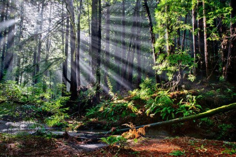 God_Beams_Rays_Through_Redwoods_Butano_State_Park_California-L