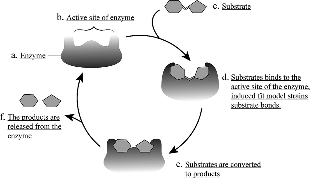 medium resolution of 1 shows the completed map of the catalytic cycle of an enzyme