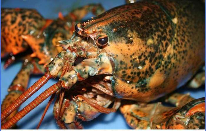Lobsters Communicate