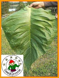 Grow Cigarette And Pipe Tobacco From Plant Seeds